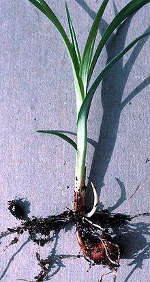 tigernut plant