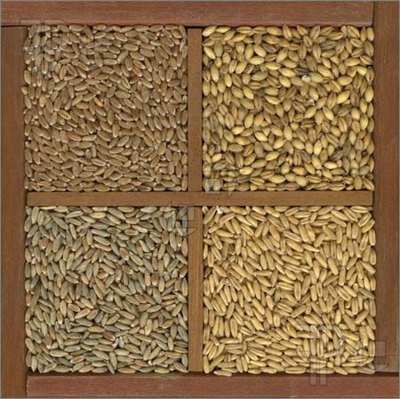Wheat-Barley-Oat-Rye-Grain