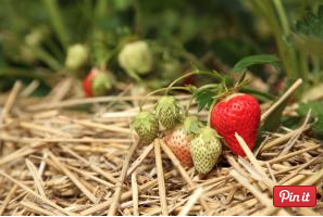 Straw Strawberries cross contamination