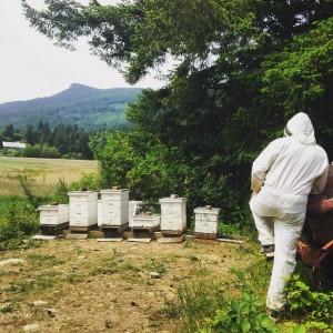 Bee Balm Victoria
