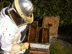 Bee Balm Victoria 3