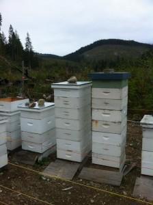 Bee Balm Victoria 6