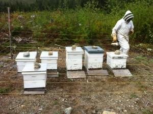 Bee Balm Victoria1
