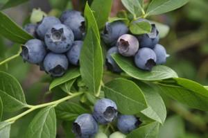 Blueberry-landscapingLenoir