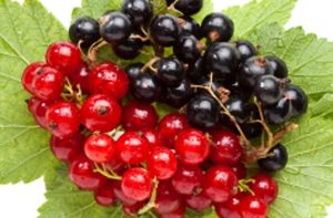 Red Black Currants