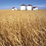 wheat research