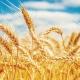 hard red spring wheat North Dakota State University wp